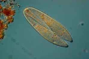 Податотека:Conjugation in Paramecium.webm