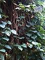Conservatoire du bégonia 2015. Begonia integerrima Spreng.JPG