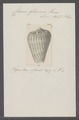 Conus glaucus - - Print - Iconographia Zoologica - Special Collections University of Amsterdam - UBAINV0274 086 03 0012.tif