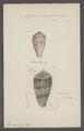 Conus granulatus - - Print - Iconographia Zoologica - Special Collections University of Amsterdam - UBAINV0274 085 10 0068.tif