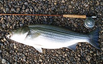 Striped bass fishing - Flyrod caught Striped Bass From The Coosa River near Wetumpka, Alabama (Released)