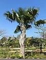 Copernicia baileyana - Naples Botanical Garden - Naples, Florida - DSC09962.jpg
