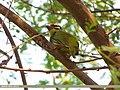 Coppersmith Barbet (Megalaima haemacephala) (15706824190).jpg