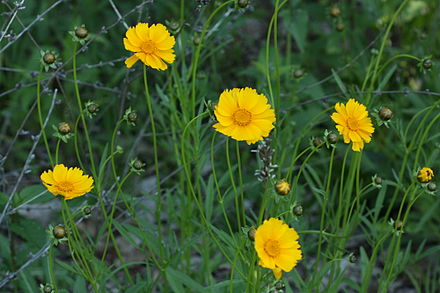 green and gold coreopsis Coreopsis in Michigan.JPG