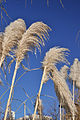 Cortaderia selloana inflorescences.jpg