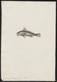 Corvina furcraea - 1700-1880 - Print - Iconographia Zoologica - Special Collections University of Amsterdam - UBA01 IZ13400069.tif