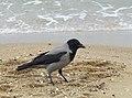 Corvus cornix Jelitkowo 2.jpg