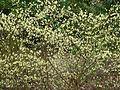 Corylopsis pauciflora - Flickr - peganum (1).jpg