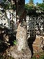 Corymbia (Eucalyptus) calophylla, Myrtaceae (25748954810).jpg