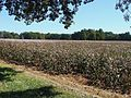Cotton plants (5822948140) (2).jpg
