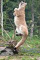 Cougar Grabbing a Branch Mid-Air (17670213988).jpg