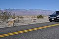 Coyotes (5814533072).jpg