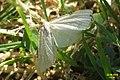 Crambus perlella (NHDus) (24626148020).jpg