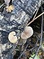 Crepidotus mollis 111336955.jpg