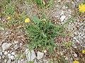 Crepis setosa plant (10).jpg