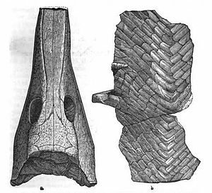 Cricotus - Illustration of the skull and ventral scutes of Cricotus heteroclitus by Edward Drinker Cope.