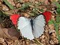 Crimson tip from Savandurga IMG 9498.jpg