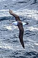 Crossing the Drake Passage from the South Shetland Islands to Cape Horn.Black-Browed Albatross (Diomedea melanophrys). (26016280015).jpg