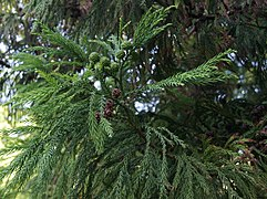 Cryptomeria japonica.D.Don.jpg