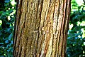 Cunninghamia lanceolata 03.jpg