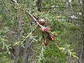 Cupressus sargentii Mount Tamalpais.jpg