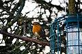 Cute Little Robin (199071219).jpeg
