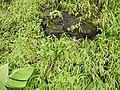 Cyanotis tuberosa (Roxb.) Schult. & Schult.f. (5994702989).jpg