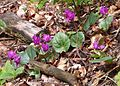 Cyclamen Sp. (Cyclamen purpurascens?) (16099638950).jpg