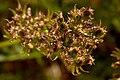 Cymopterus sessiliflorus - Flickr - aspidoscelis (2).jpg