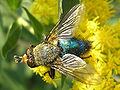 Cynomya mortuorum (male) - TopView 03.jpg
