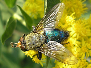 Totenfliege (Cynomya mortuorum)