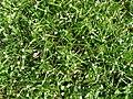 Cyperaceae carpet (5734320479).jpg