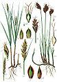 Cyperaceae spp Sturm14.jpg