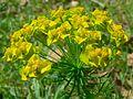 Cypress Spurge (Euphorbia cyparissias) (8342679308).jpg