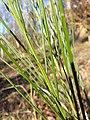 Cytisus scoparius (subsp. scoparius) sl2.jpg