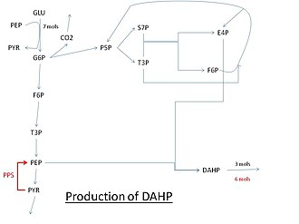 3-Deoxy-D-arabino-heptulosonic acid 7-phosphate - Pathway for the production of DAHP using glucose. Abbreviations: GLU: glucose, G6P: Glucose 6-phosphate, PEP: Phosphoenolpyruvate, PYR: Pyruvate, F6P: Fructose 6-phosphate, P5P: Pentose 5-phosphate (ribose or xylulose 5-phosphate) T3P: Glyceraldehyde 3-phosphate, S7P: Sedoheptulose 7-phosphate, E4P: Erythrose-4-phosphate, PPS: PEP synthase.