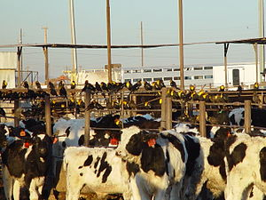 DBAZBenedicts AZ feedlot blackbirds3