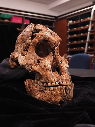 Drimolen - The DNH 7 Paranthropus robustus skull from DMQ, the most complete skull of this species ever discovered and a rare female example.