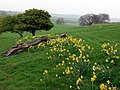 Daffodils and lush pastures below West Biggins - geograph.org.uk - 1273081.jpg