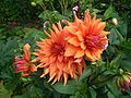 Dahlia orange Farbe.jpg