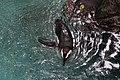 Dallas World Aquarium January 2019 16 (black-footed penguin).jpg