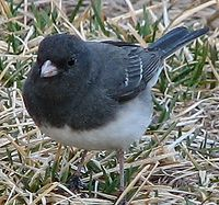 Dark Eyed Junco 005.jpg