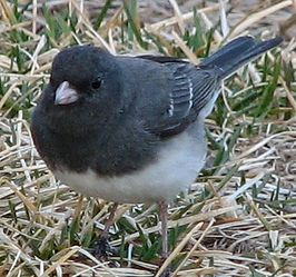 Junco hyemalis (Grijze junco)
