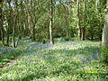 Darroch Woods bluebells - geograph.org.uk - 815236.jpg