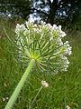 Daucus carota inflorescence.JPG
