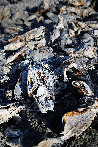 Salton Sea - Dead fish on the western shore of Salton City
