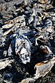 Dead Fishes on the shores of Salton City.jpg