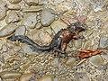 Dead Red-bellied Squirrel DSCN9800.jpg