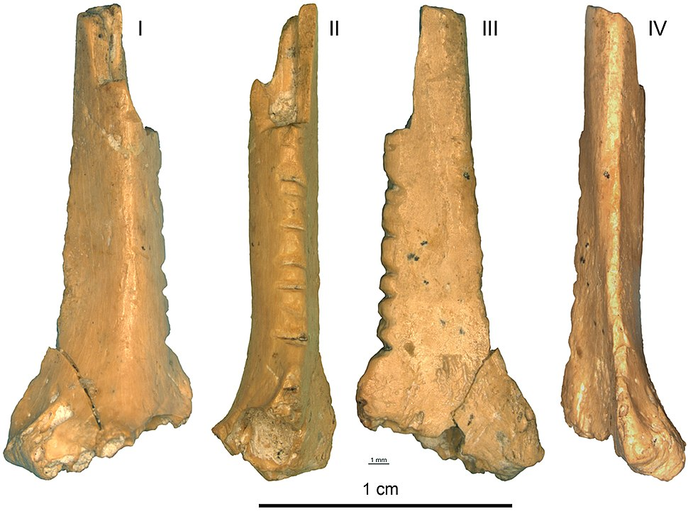Decorated raven bone from the Zaskalnaya VI (Kolosovskaya) Neanderthal site, Crimea, Micoquian industry dated to between 38 and 43 cal kyr BP