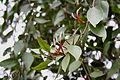 DendrophthoeFalcata Mistletoe IMG 2544.JPG